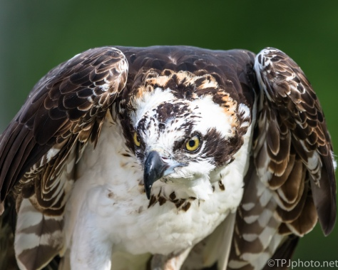 Osprey - Click To Enlarge