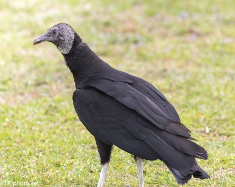 Black Vulture - Click To Enlarge