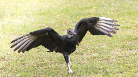 Black Vulture - Click To Enlarge