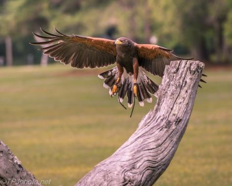 Harris Hawk In Flight - Click To Enlarge