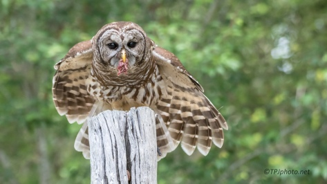 A Barred Owl - Click To Enlarge