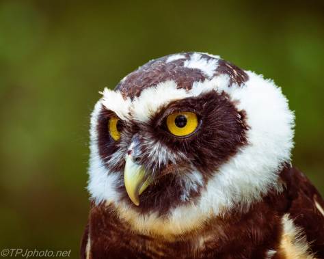 Portrait, Spectacled Owl - Click To Enlarge