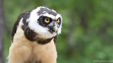 A Spectacled Owl - Click To Enlarge
