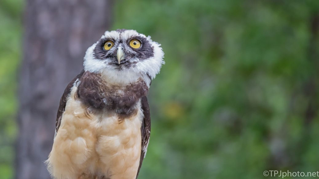 Spectacled Owl, Something Caught His Attention - Click To Enlarge