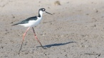 Black Necked Stilt - Click To Enlarge
