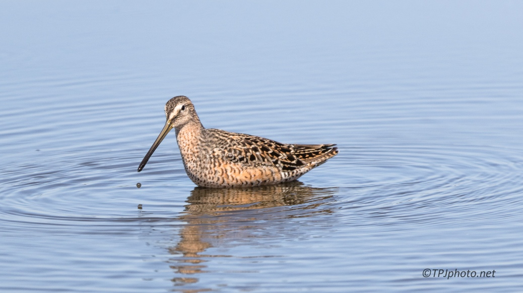 Marbled Godwit - Click To Enlarge