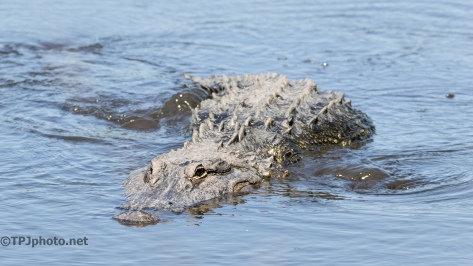 Alligator, But What's Different - Click To Enlarge