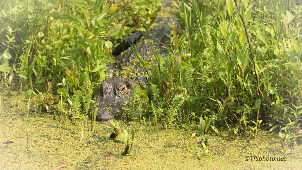 Alligator, Back To An Old Spot - Click To Enlarge