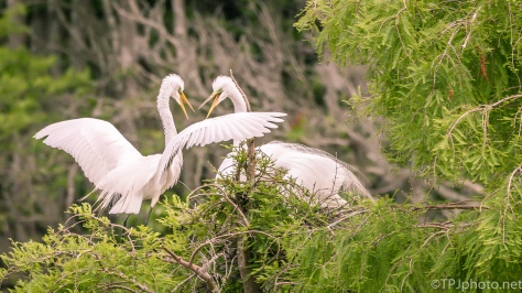 Great Egrets At The Nest - Click To Enlarge