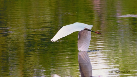 Snowy Egret Flying Low - Click To Enlarge