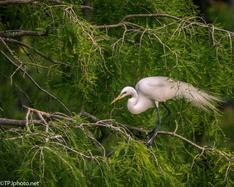 Great Egret In A Juniper - Click To Enlarge