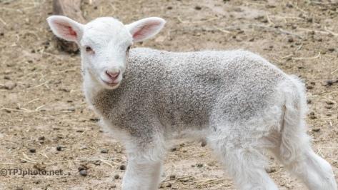 Sheep, Lambs, New Born's - Click To Enlarge