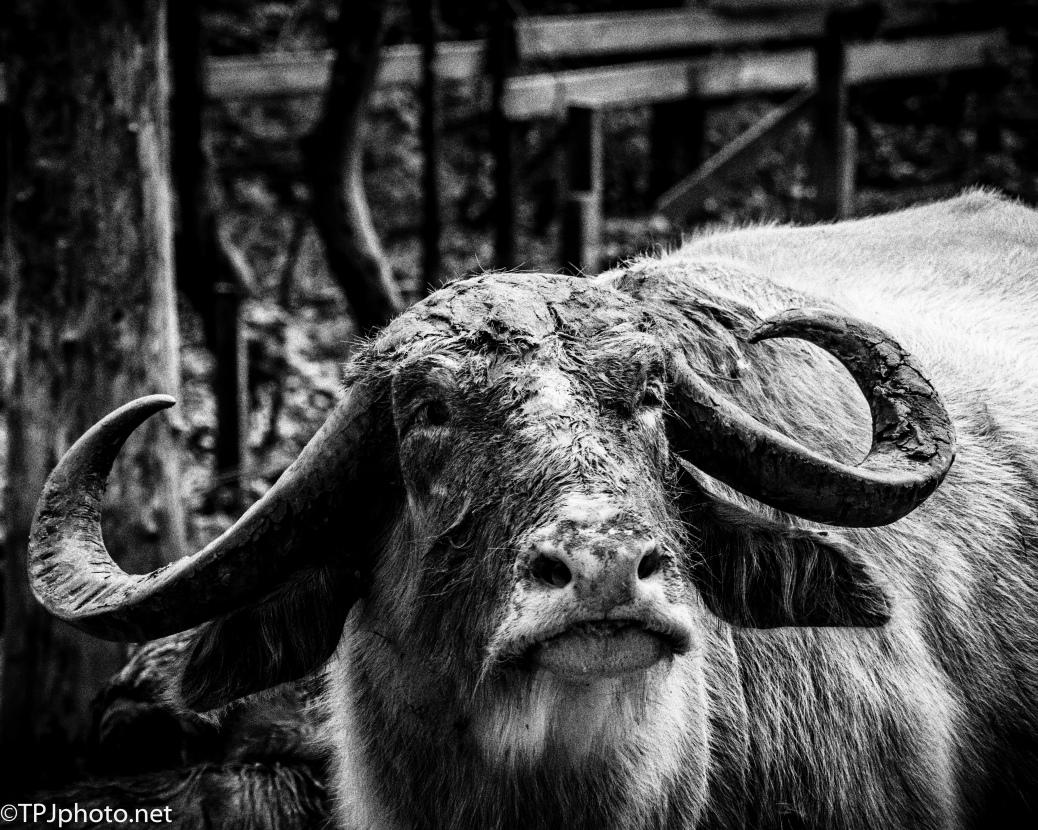 Water Buffalo, Kodak P3200 TMax Pro - Click To Enlarge