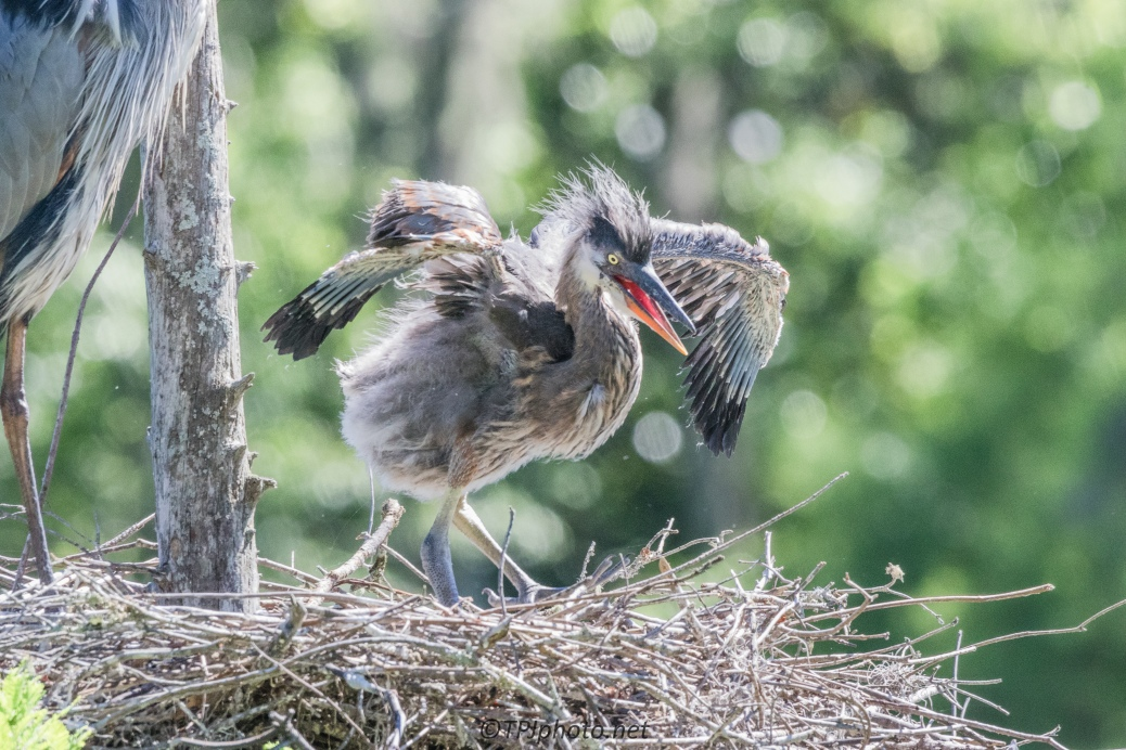 Great Blue Heron - A Single Chick Nest - Click To Enlarge