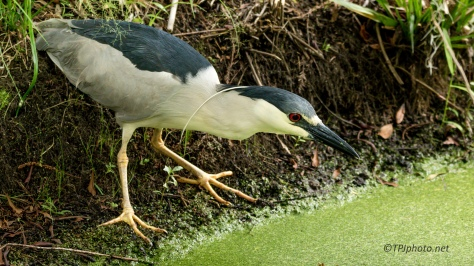 Black-crowned Night Heron Focused On Fish - Click To Enlarge