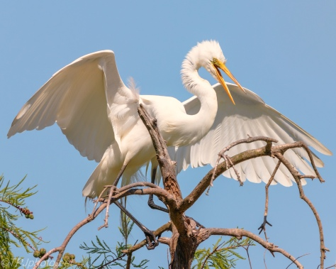 Great Egret Above A Swamp - Click To Enlarge