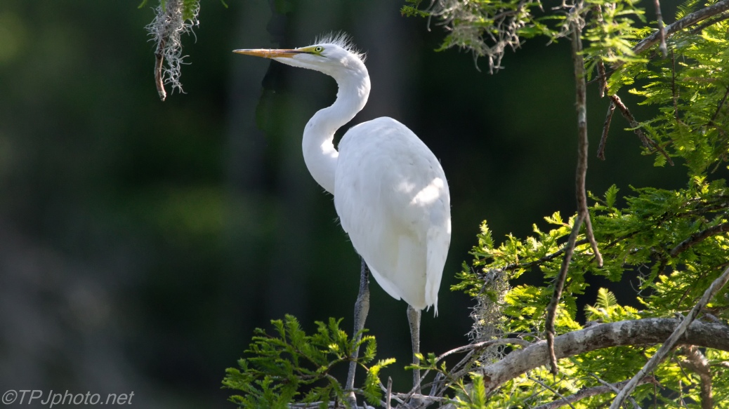Young Egret, Too Small To Fly, Too Big For A Nest - Click To Enlarge