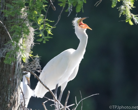 The Scream, Great Egret - Click To Enlarge