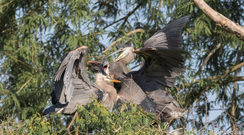 Pile Of Herons - Click To Enlarge