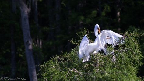 Great Egrets, Usual Peaceful Interactions - Click To Enlarge