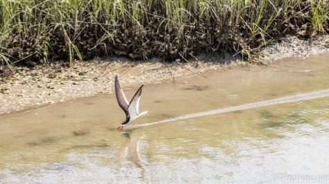 Black Skimmer, Skimming - Click To Enlarge