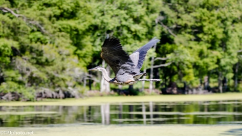 A Tale Of Two Herons, We Have Liftoff - Click To Enlarge