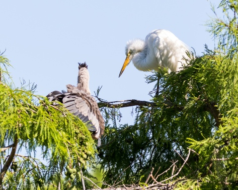 Tale Of Two Heron, Egret Attack - Click To Enlarge