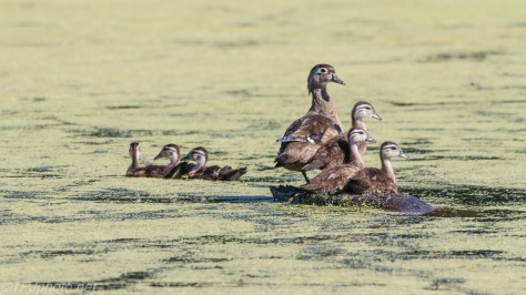 Wood Ducks Gathered On A Stump - Click To Enlarge