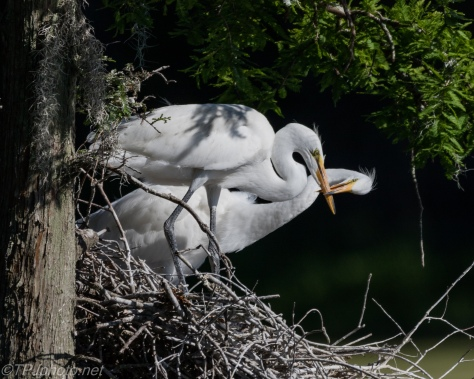 Juvenile Great Egrets - Click To Enlarge