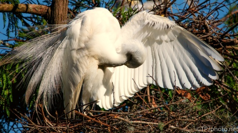 Feathers, Great Egret - Click To Enlarge