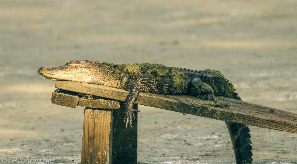 Alligator, Exactly How I feel - Click To Enlarge
