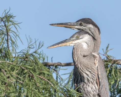 Tale Of Two Heron, Side By Side - Click To Enlarge