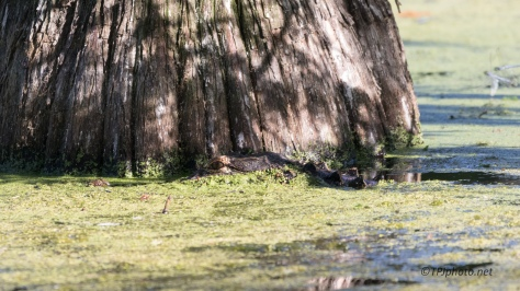 Alligator, Missed Opportunity - Click To Enlarge