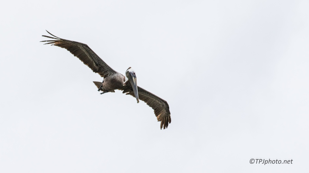 A Brown Pelican Dive - Click To Enlarge