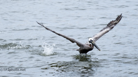 Brown Pelican - Click To Enlarge