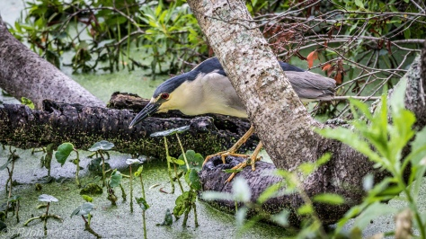 Black-crowned Night Heron - Click To Enlarge