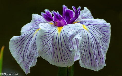 Iris - Click To Enlarge