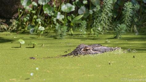 Mother Alligator - Click To Enlarge