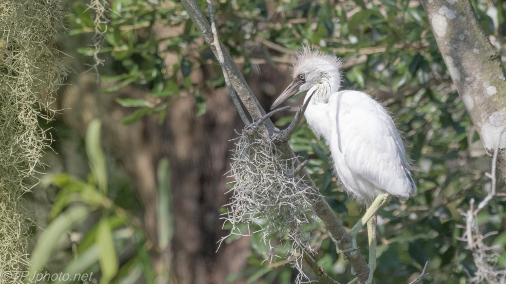 Young Little Blue Heron - Click To Enlarge