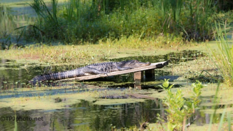 Alligator In The Back Swamp - Click To Enlarge