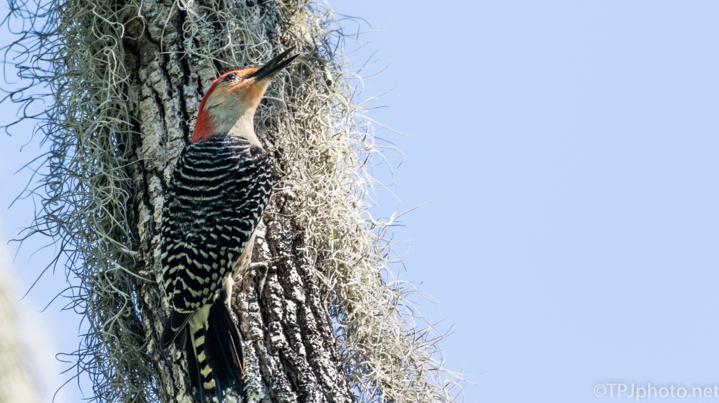 Red-bellied Woodpecker - Click To Enlarge