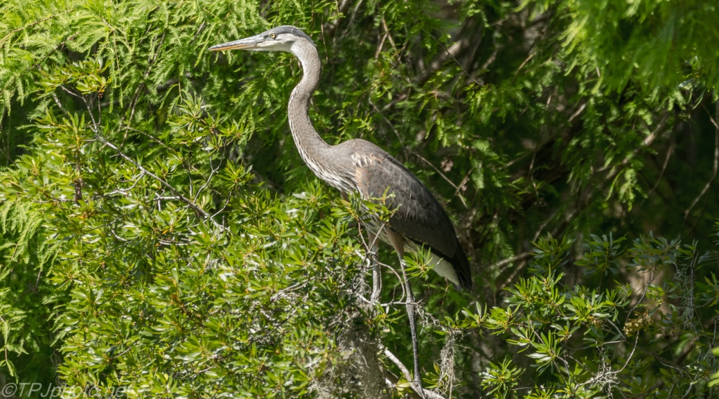 Tale Of Two Herons, Discovering Shade Trees - Click To Enlarge
