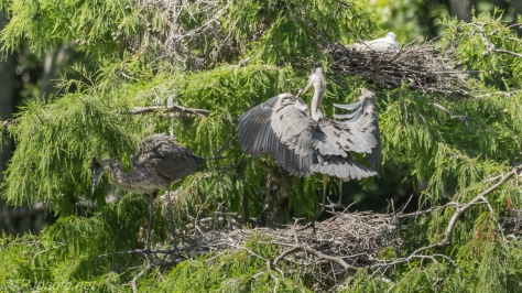 Tale Of Two Herons, Both Back At The Nest - Click To Enlarge
