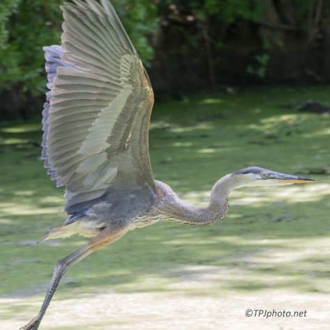 Two Herons, Two Surprises - Click To Enlarge