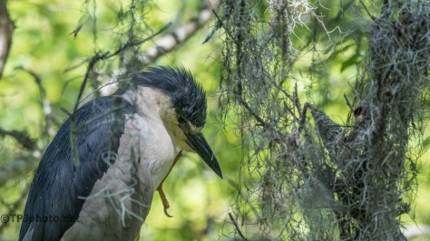 Night Heron, Ignoring Me - Click To Enlarge
