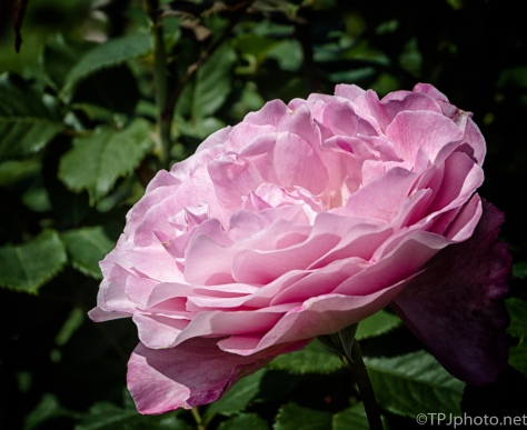 Pink Rose - Click To Enlarge