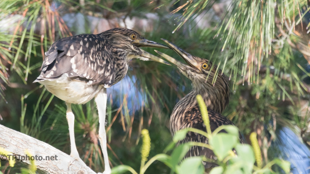 Juvenile Black-crowned Night Herons - Click To Enlarge
