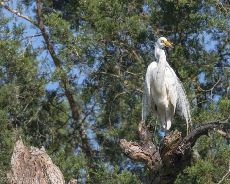 Great Egret Up Above - Click To Enlarge