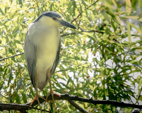 Hiding Black-crowned Night Heron - Click To Enlarge
