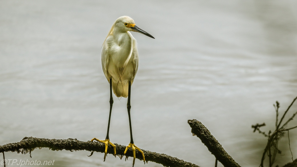 Snowy Egret, Bad Light, Great Bird - Click To Enlarge
